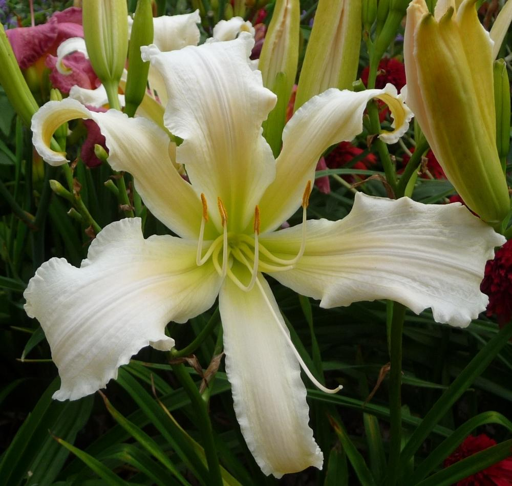 Photo of Daylily (Hemerocallis 'Heavenly Angel Ice') uploaded by twixanddud