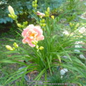 Location: My Garden- VermontDate: 2015-07-24A Prolific