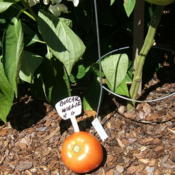 Location: The Park - full sun gardenDate: 2015-07-23First tomato.