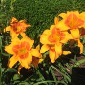Location: My garden in Warrenville, SCDate: 2015-06-12