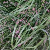 Location: MarylandDate: 2015-07-26The delicate pink blossoms on this grass are long-lasting