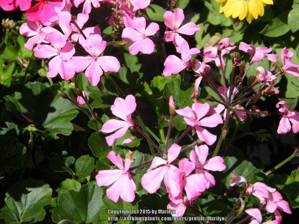 Photo of Storksbill (Pelargonium Caliente® Pink) uploaded by Marilyn