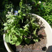Location: My garden in Northern KYDate: 2015-07-21First year plants. Seedlings from Chelle! Taken in the evening.