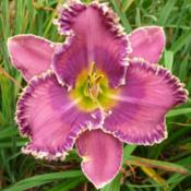 Location: SE Michigan (taken at Along the Fence Daylilies, Dansville, MI)Date: 2015-07-25