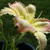 Location: SE MichiganIn my own garden. This is one of my favorite daylily pi