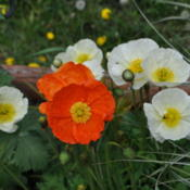 Location: Darwell Rolling Woods, AlbertaDate: 2015-06-01Blooms May, June and July