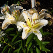Location: Clinton, Michigan 49236Date: 2015-07-28Lilium 'Legend', 2015