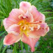 Location: My Garden- VermontDate: 2015-07-27A fabulous double that produces over 40 buds each year.