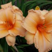 Location: SE MichiganDate: 2015-07-25This cultivar should really be called Flaming Peach, I