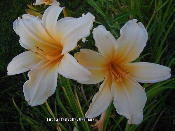 Photo of Daylily (Hemerocallis 'Multnomah') uploaded by Joy