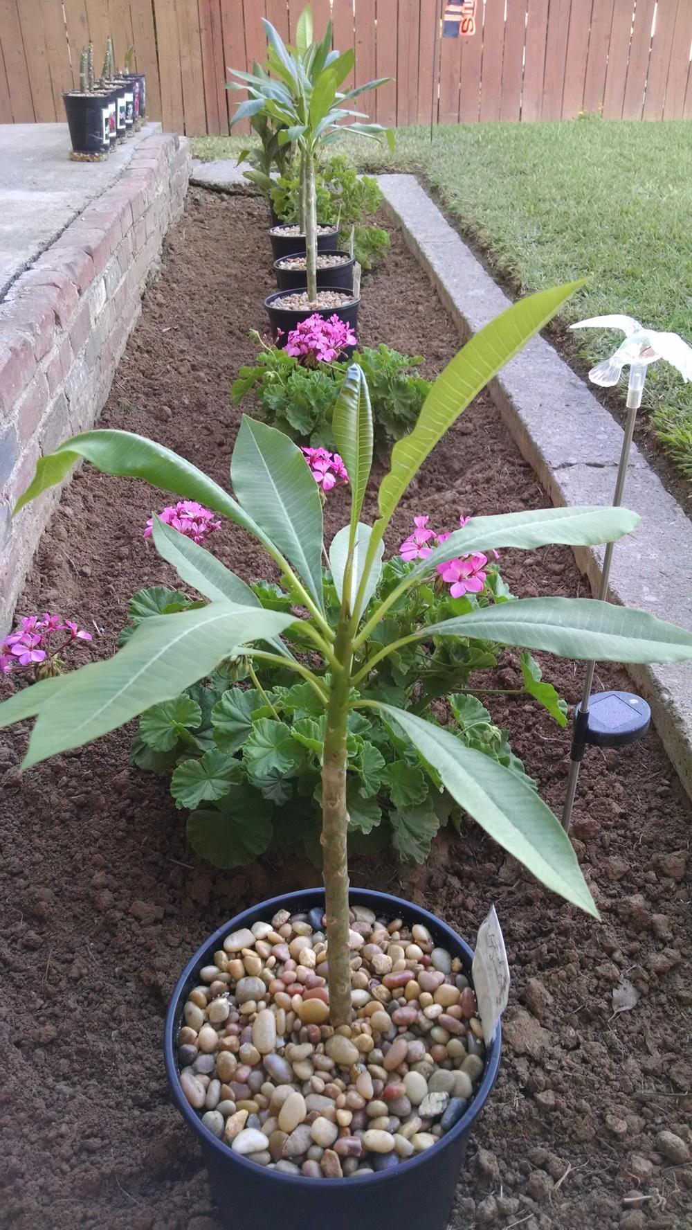 Plumeria Forum Re Potted Plumeria Leave Drooping Garden Org