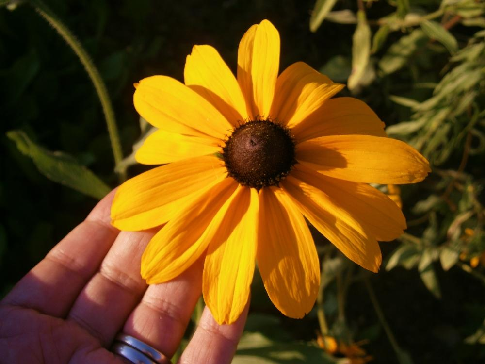 Photo of Black Eyed Susans (Rudbeckia) uploaded by Daylilybaby