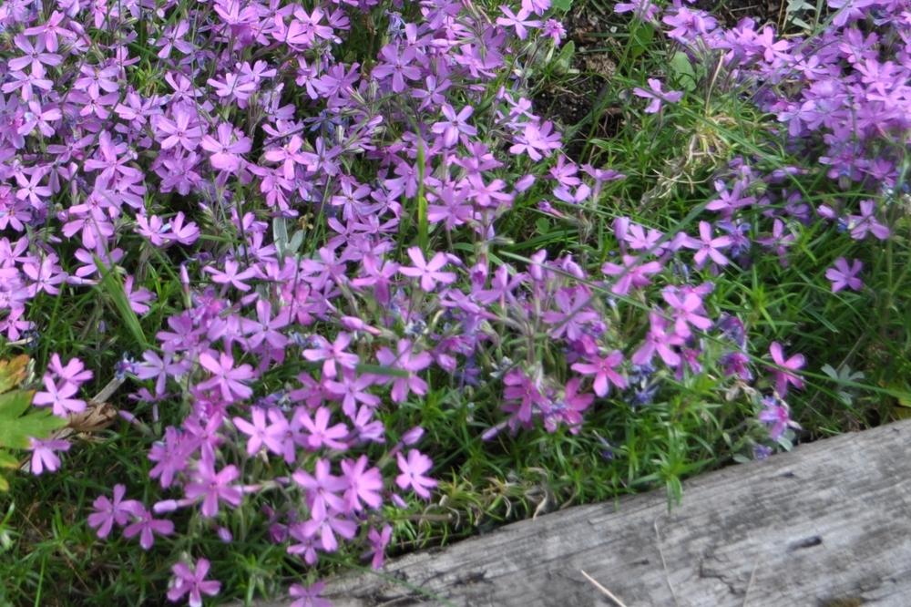 Photo of Phloxes (Phlox) uploaded by darwellwoods