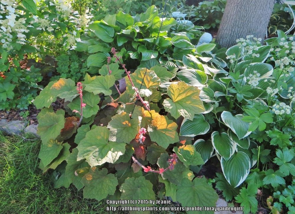 Photo of Coral Bells (Heuchera 'Brownies') uploaded by foraygardengirl