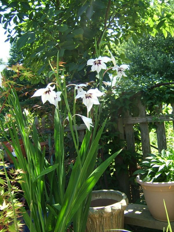 Photo of Peacock Orchid (Gladiolus murielae) uploaded by pirl