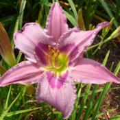 Location: SE Michigan (taken at Along the Fence Daylilies, Dansville, MI)Date: 2015-07-2511AM