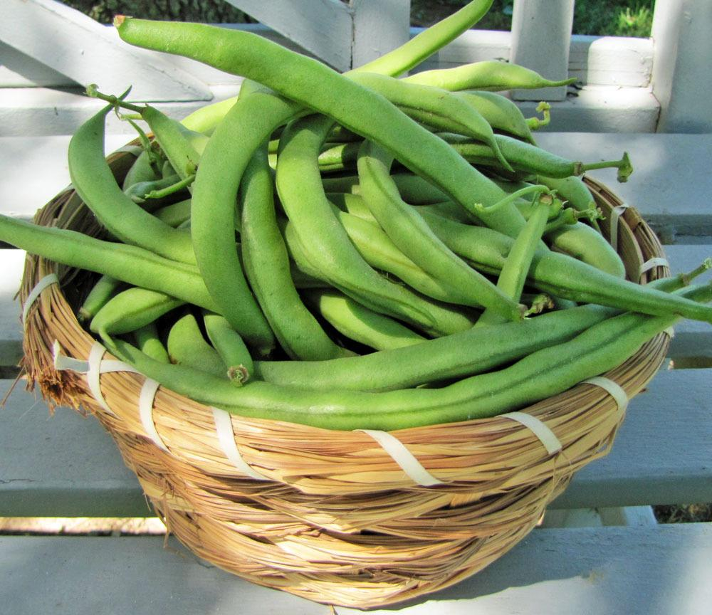 Beans Plant Care And Collection Of Varieties Garden Org