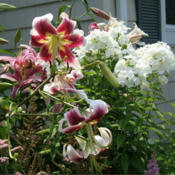 Location: Fireplace garden, rightDate: 2012-07-27In a mixed bed with Arabesque lilies.