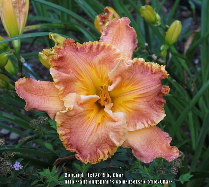 Photo of Daylily (Hemerocallis 'Indigenous Expressions') uploaded by Char