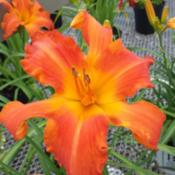 Location: SE MichiganDate: 2015-07-25My local nursery is selling Primal Scream now...