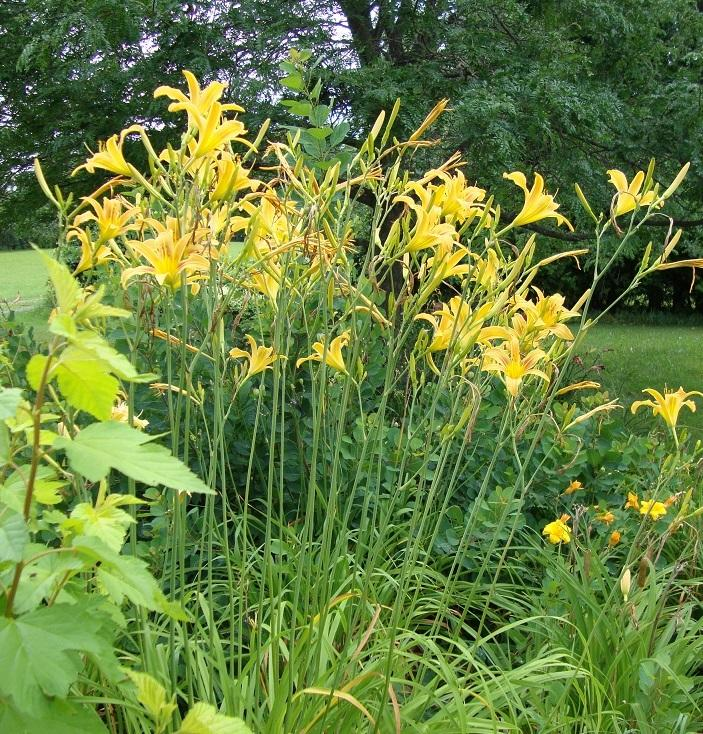 Photo of Daylily (Hemerocallis 'Autumn Minaret') uploaded by sooby