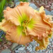 Location: My Garden- VermontDate: 2015-07-30A beautiful bloom, with a neon green throat. Stunning!