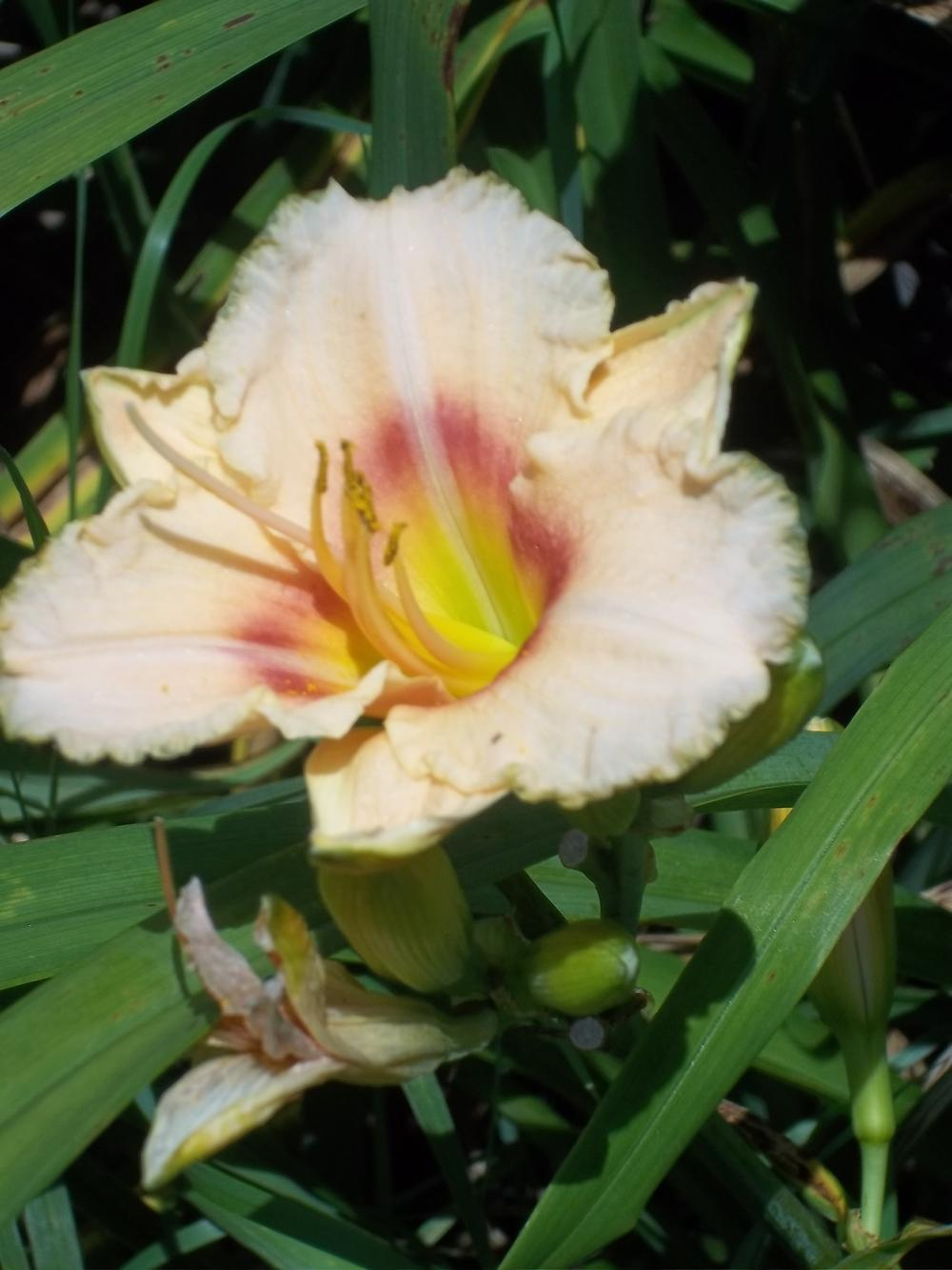 Photo Of The Bloom Of Daylily Hemerocallis Siloam French Marble