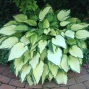 Location: 382 River Road, Pequea, PA 17565Date: August 5, 2015Reliable hosta in shade or part sun, but it burns when