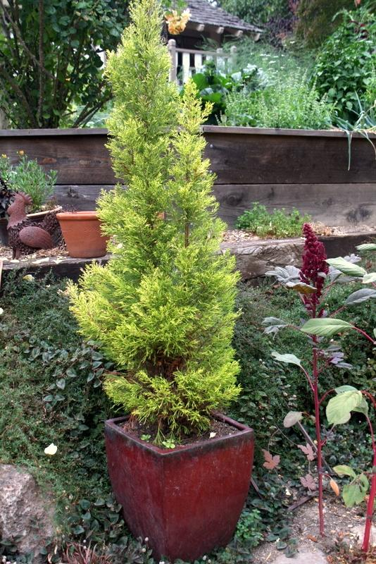 Photo of Lemon Cypress (Cupressus macrocarpa 'Goldcrest') uploaded by Calif_Sue