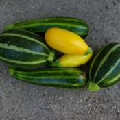 Location: Long Island, NY Date: 2015-07-17Striped and yellow squashes.