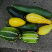 Location: Long Island, NY Date: 2015-07-28Summer squashes.