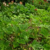 Location: Long Island, NY Date: 2015-07-02Many Summer Squash plants.