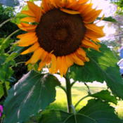 Date: 2015-08-08some kind of dwarf sunflower from CVS seed kit