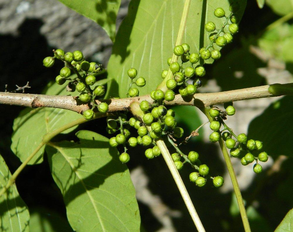 Photo of Hercules Club (Zanthoxylum clava-herculis) uploaded by wildflowers