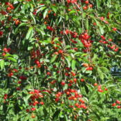 Location: Cedarhome, WashingtonDate: 2015-06-23Good year for cherries!