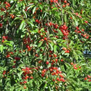 Good year for cherries!