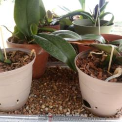 Homemade Humidity Trays for Multiple Orchids