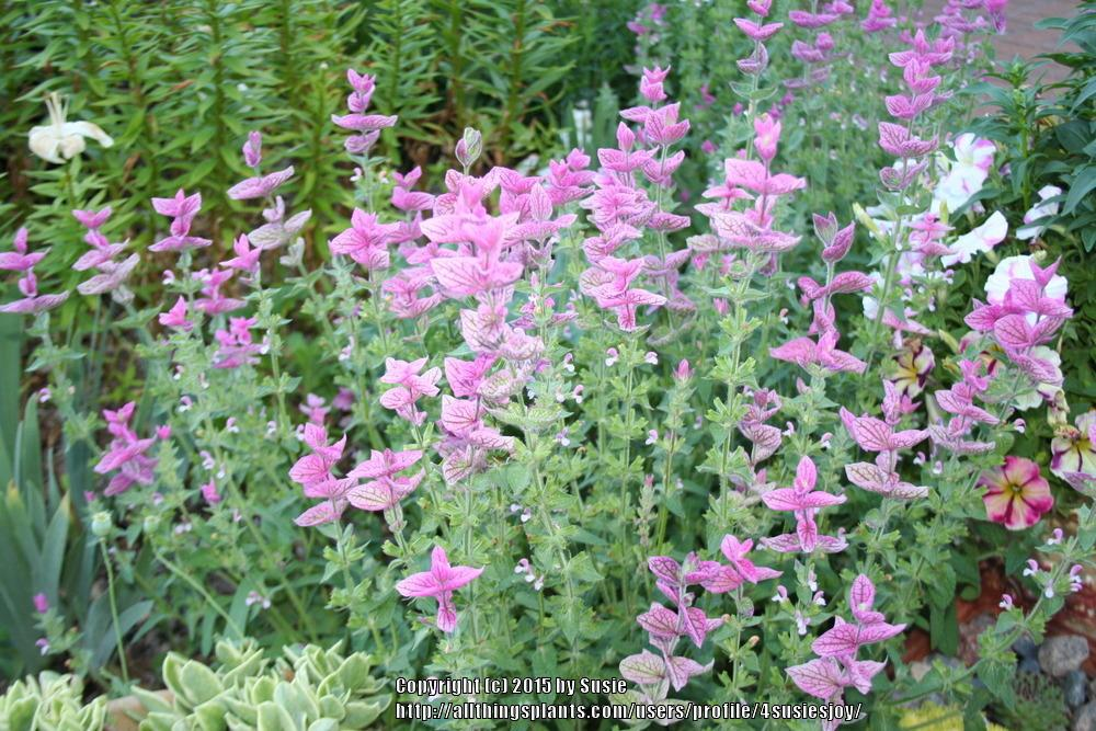 Photo of Clary Sage (Salvia viridis 'Marble Arch Rose') uploaded by 4susiesjoy