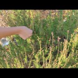 Video: Harvesting Salvia Seeds