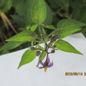 Location: My Garden IndianaDate: 2015-08-14Bloom  cluster  at top end of vine