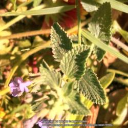 Thumb of 2015-08-15/Catmint20906/a7c15f