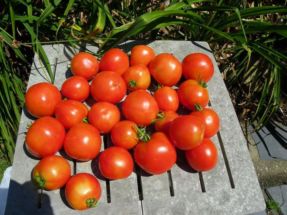 Photo of Tomato (Solanum lycopersicum 'Rutgers') uploaded by Newyorkrita