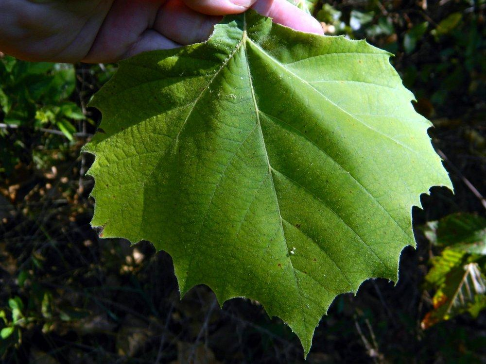 Photo of American Sycamore (Platanus occidentalis) uploaded by wildflowers