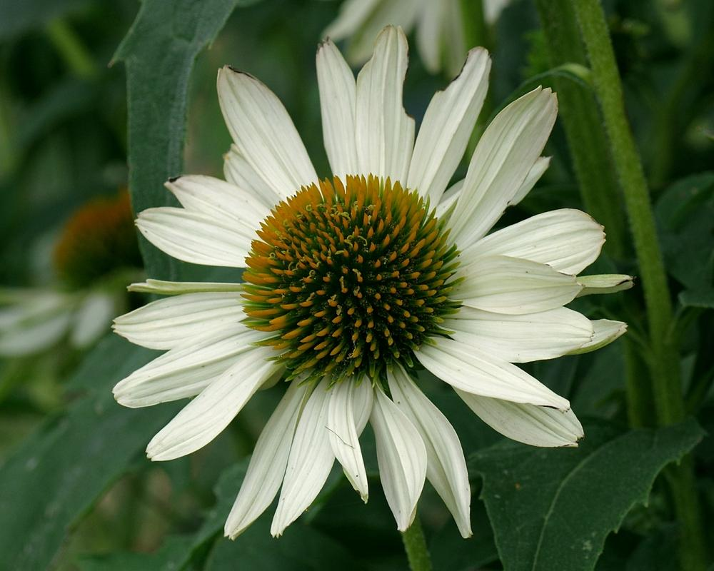 Photo Of The Bloom Of White Coneflower Echinacea Fragrant Angel