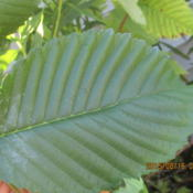 Location: my property IndianaDate: 2015-08-16this the leaf looks smooth  feel like Coarse grit fine sandpaper