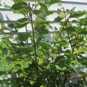 Location: my property IndianaDate: 2015-08-16 Growing as weds next to garage