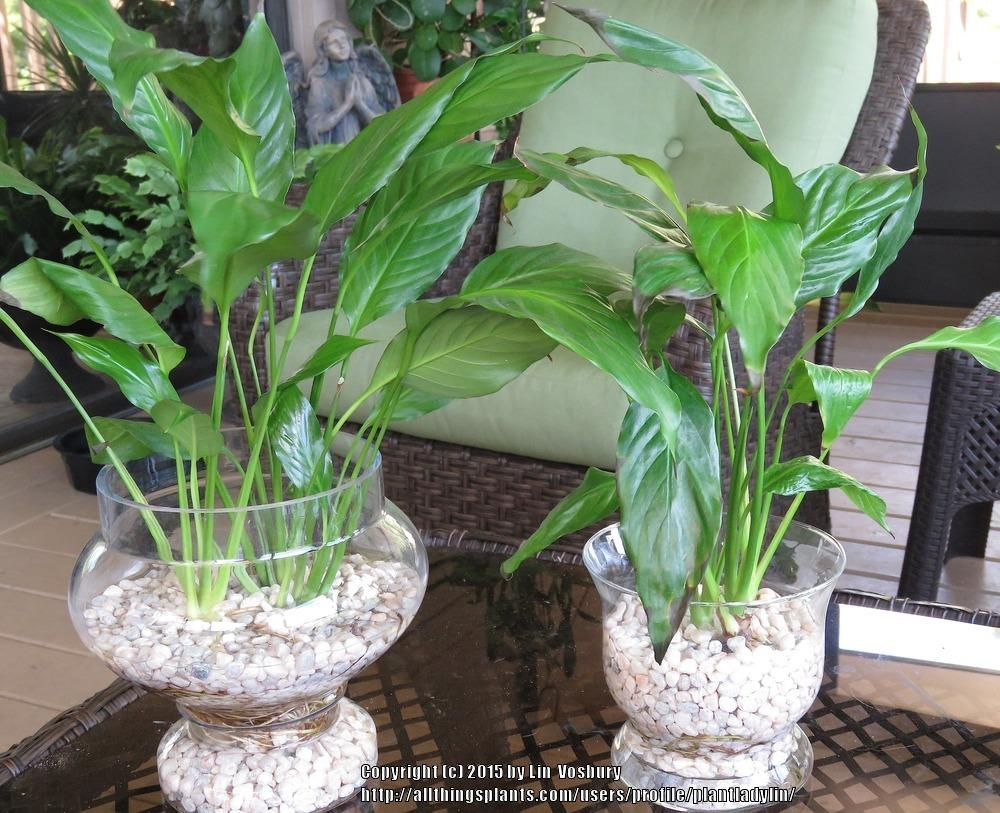 Ask a question forum can a peace lily come back from root rot thumb of 2015 08 16plantladylin92ebe0 izmirmasajfo