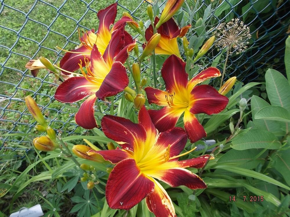 Photo of Daylily (Hemerocallis 'Ruby Spider') uploaded by linjarvis