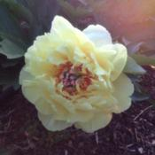 Location: 382 River Road, Pequea, PA 17565Date: May 26, 2015Paeonia 'Bartzella' (intersectional peony)