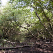 Location: Burroughs Park. Harris County, TexasDate: 2015-08-16This is a Planera aquatica swamp that makes up some of the bottom